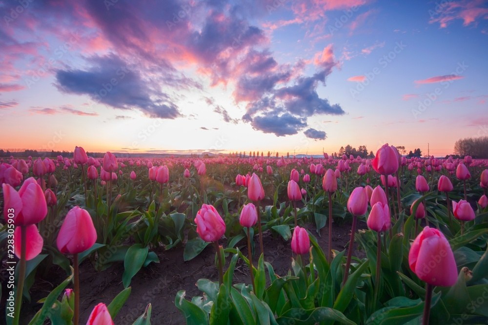 Fotografie, Obraz Pink fields of tulips with a colorful sunset