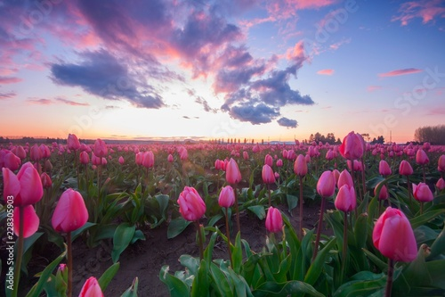 Fotobehang Tulp Pink fields of tulips with a colorful sunset
