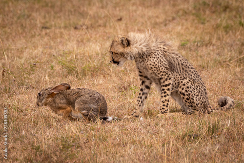 Cheetah cub watches scrub hare in grass