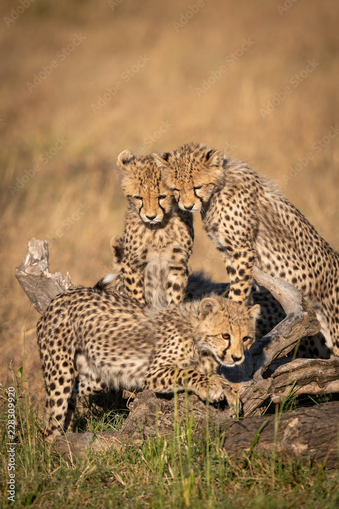 Cheetah cubs watch another play on log