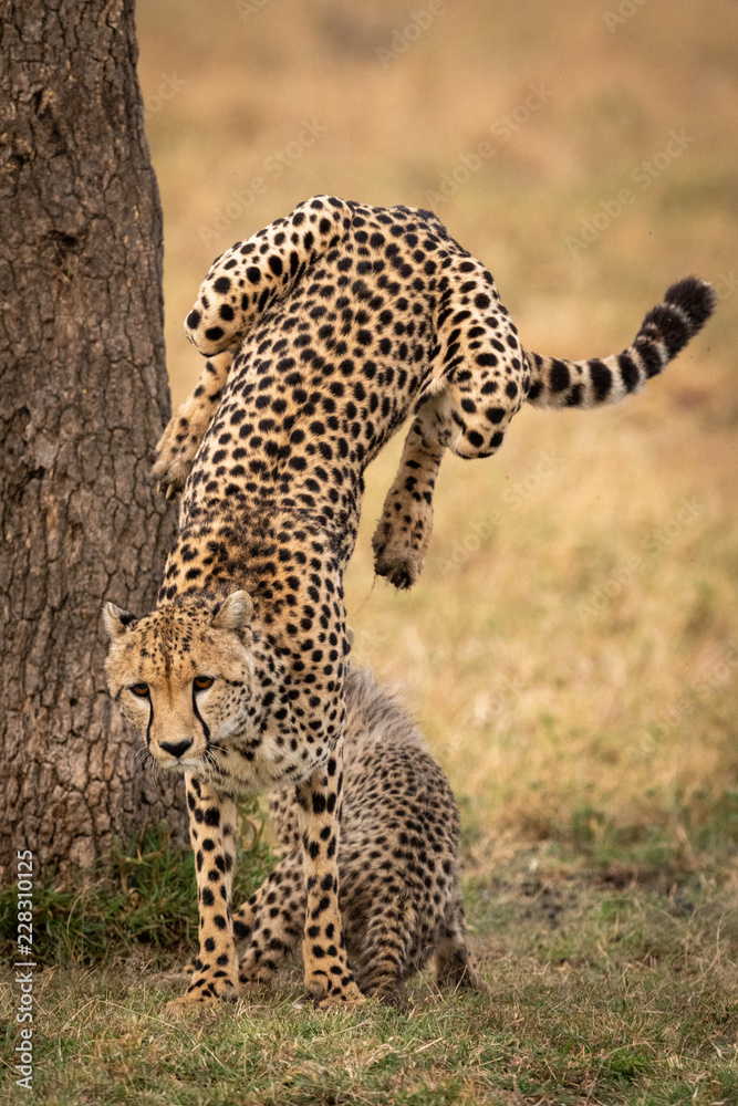 Cheetah jumps down from tree beside cub