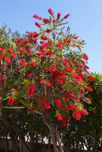 Bottlebrush Shrub With Bright ...