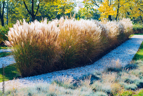 Miscanthus gigantic grass in autumn colors and scenery