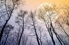 Bare Trees In Evening With Ful...