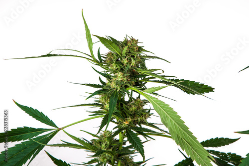 Photo  plant of marihuana inflorescence, on white background, Cannabis indica