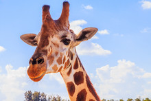 A Portrait Of Giraffe With A Long Neck