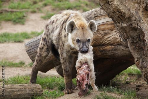 Poster Hyène Spotted hyena (Crocuta crocuta)