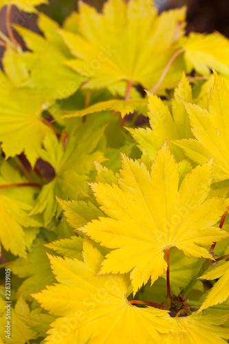 Spring yellow Acer Shurasawanum Aureum  leaves