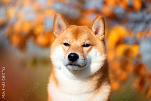 Photographie Portrait of a dog breed Shiba inu in autumn Park.