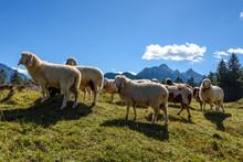 Schafe Auf Dem Kranzberg In Mi...