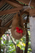 Sloth Eating A Flower. Costa R...