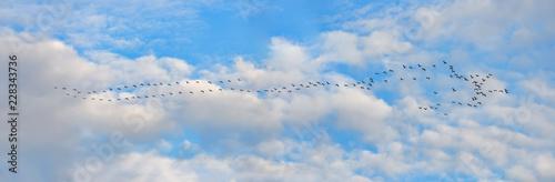 Fotografía  Panorama ziehender Kraniche am Himmel
