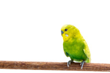 Yellow And Green Budgie, Budge...