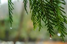 Droplets Of Water On Cedar Bra...
