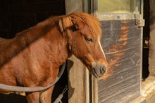 Brown Pony In The Stable