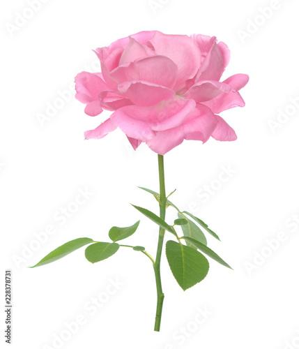 Photo rose