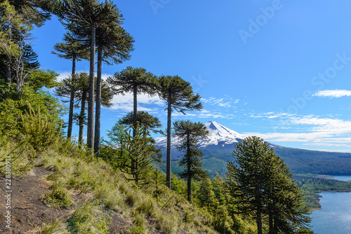 Photo Araucaria forest and Llaima volcano in Conguillio National Park, Chile
