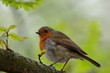 European robin (Erithacus rubecula) perching on a branch