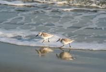 Sanderling Shorebirds In Ocean Surf