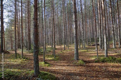 Staande foto Bossen Beautiful Karelian forest landscape in early autumn in Russia