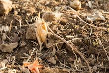 Corn Stubble Field On Corn