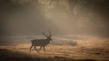 Red Deer In Sunrise Mist