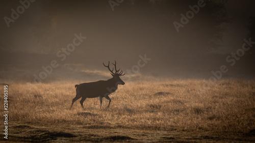 Deurstickers Hert Red Deer In Sunrise Mist