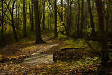 Fall Leaf Covered Wooden Boardwalk Pathway Through Golden Yellow Autumn Forest With Dark Tree Trunks