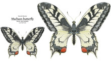 Watercolor Illustration Two Machaon Butterflies