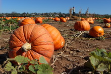 Huge Pumpkins In A Pumpkin Patch, With Scarecrow In Background
