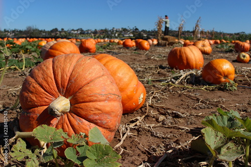 Huge pumpkins in a pumpkin patch, with scarecrow in background Wallpaper Mural