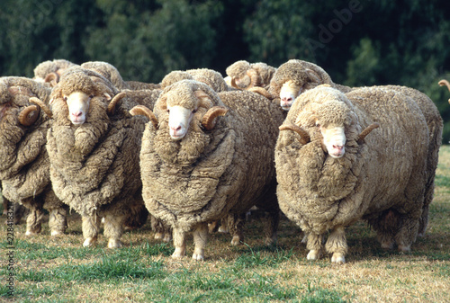 Cadres-photo bureau Sheep Stud Merino ram at at a farm in Australia.sheep