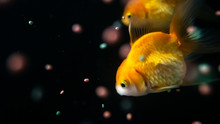 Goldfish And Fish Feed In Black Background