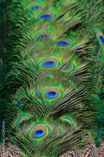Foto op Aluminium Pauw Beautiful peacock feathers for the background.