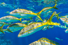 Group Of Colorful Yellowtail Snappers Fish School In Blue Water. Selective Focus