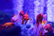 canvas print picture - Many beautiful colored goldfish in the water. Underwater world