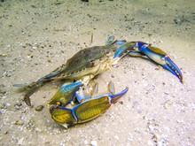 Blue Crab Under Water On Sandy Bottom