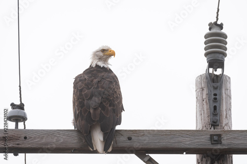 Bald eagle sitting on the crossbar of a wood utility pole