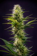 Blooming Cannabis Flowers Isla...