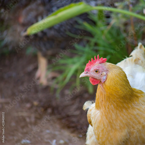 Hen with golden hackle and white feathers