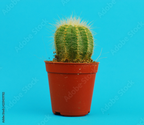 Keuken foto achterwand Cactus Cactus on blue background