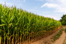 Close Up Of Corn Field In The Countryside