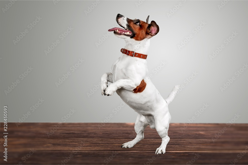 Fototapety, obrazy: Cute small dog Jack Russell terrier on
