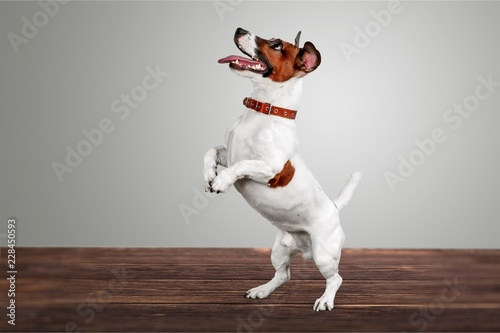 Poster Chien Cute small dog Jack Russell terrier on