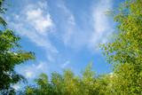 Fototapeta Na sufit - Green foliage background cloudy sky