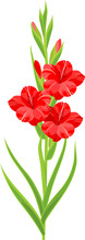 Inflorescence Of Gladiolus With Red Flowers And Green Leaves Isolated On White Background