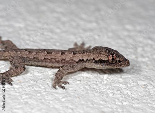 Macro Photo Of Mediterranean House Gecko On White Floor Buy This