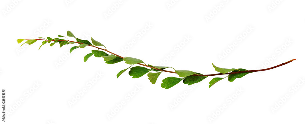 Fototapety, obrazy: Twig with small green leaves