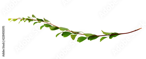 Poster Vegetal Twig with small green leaves