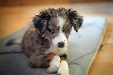 Dog, Miniature Australian Shepherd, Puppy